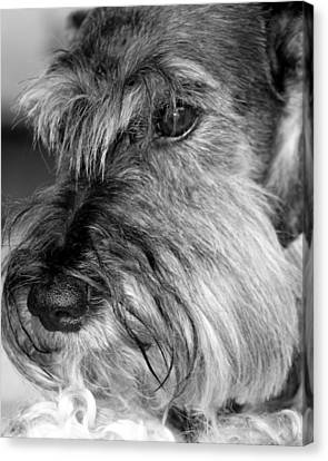 Miniature Schnauzer Portrait Canvas Print by  Andrea Lazar