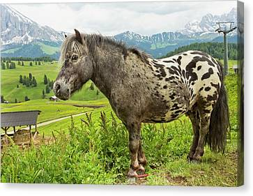 Miniature Spotted Pony Canvas Print by Bob Gibbons