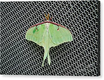 Mint Green Luna Moth Canvas Print by Andee Design