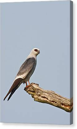 Mississippi Kite (ictinia Canvas Print by Larry Ditto