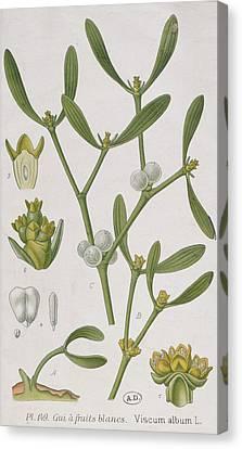 Mistletoe Canvas Print by Elizabeth Blackwell