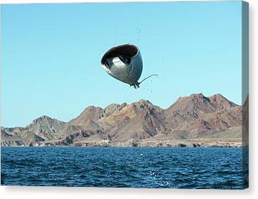 Mobuyla Ray Leaping Canvas Print by Christopher Swann
