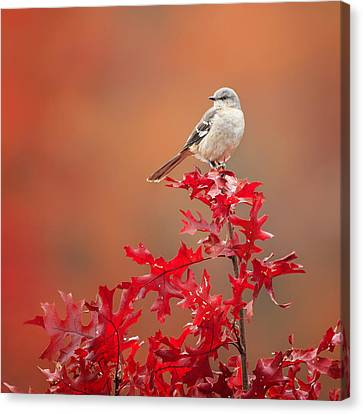 Mockingbird Autumn Square Canvas Print by Bill Wakeley