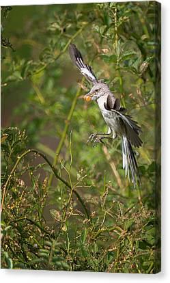 Mockingbird Canvas Print by Bill Wakeley