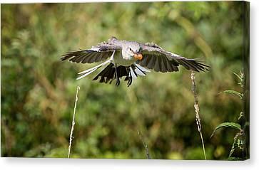 Mockingbird In Flight Canvas Print by Bill Wakeley