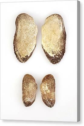 Mollusc Shells Canvas Print by Natural History Museum, London
