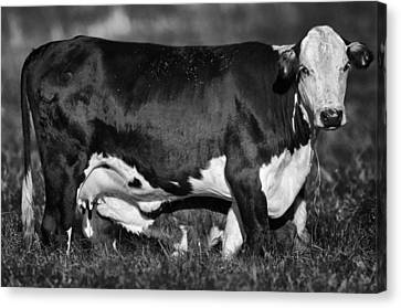 Momma Cow Canvas Print by Patrick M Lynch