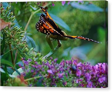Monarch Butterfly Down Canvas Print by Joy Bradley