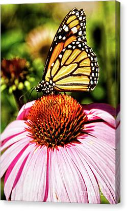 Swallowtail Butterfly Canvas Print by Robert Bales