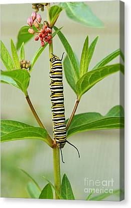 Monarch Caterpillar And Milkweed Canvas Print by Steve Augustin