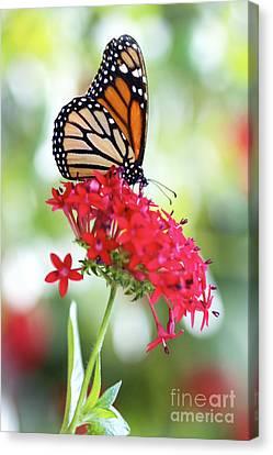 Monarch V Canvas Print by Pamela Gail Torres