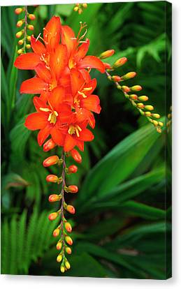Montbretia Canvas Print by Nigel Downer
