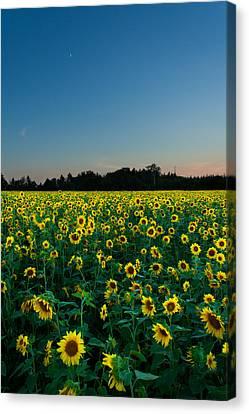 Moon And Sunflowers Canvas Print by Matt Dobson