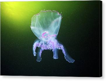 Moon Jellyfish Eversion Canvas Print by Alexander Semenov
