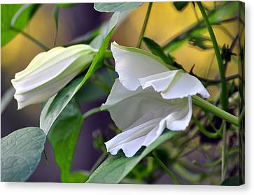 Moonflowers  Canvas Print by Gail Butler