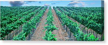 Moonrise Over Vineyard, Temecula Canvas Print by Panoramic Images