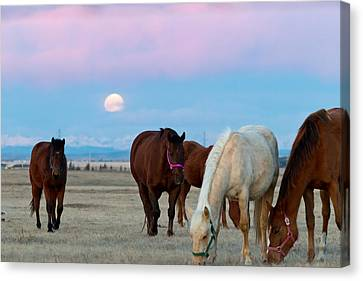 Moonset At Sunrise Over A Field Of Horses Canvas Print by Sean Phillips