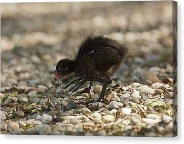 Moorhen Chick Canvas Print by Bob Gibbons