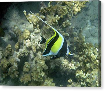 Moorish Idol (zanclus Cornutus Canvas Print by David Wall