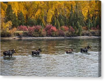 Moose Crossing 2 Canvas Print by Leland D Howard