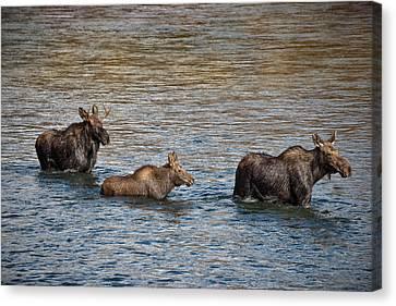 Moose Family Canvas Print by Leland D Howard