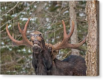 Moose Teeth Canvas Print by Steve Dunsford