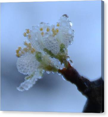 Morning Dew Canvas Print by Julie Cameron
