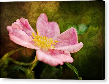 Morning Rose Canvas Print by Kelly Nowak