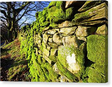 Moss On A Drystone Wall Canvas Print by Ashley Cooper