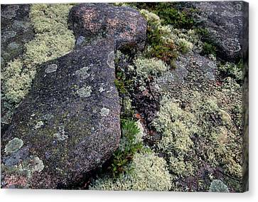 Moss On Rock-lubec-maine Canvas Print by Harold E McCray