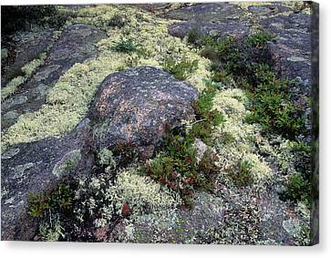 Moss On Rock-lubec-maine II Canvas Print by Harold E McCray