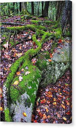 Moss Roots Rock And Fallen Leaves Canvas Print by Thomas R Fletcher