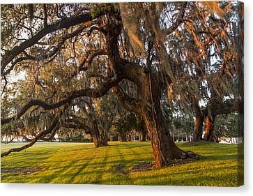 Mossy Trees At Sunset Canvas Print by Debra and Dave Vanderlaan