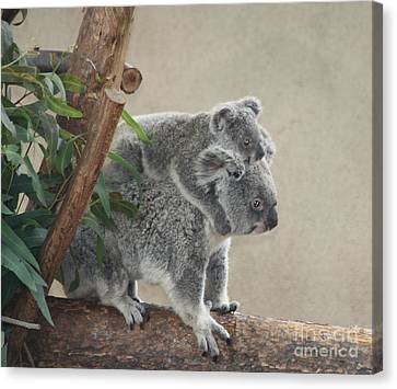 Mother And Child Koalas Canvas Print by John Telfer