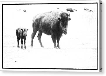 Mother Bison And Her Calf Canvas Print by Melany Sarafis