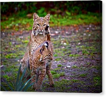 Mother Bobcat And Kitten Canvas Print by Mark Andrew Thomas
