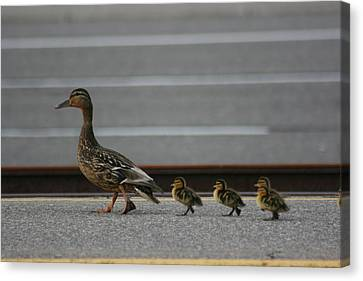 Mother Duck And Babies Canvas Print by Paula Brown