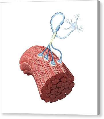 Motor Neurone And Muscle Fibres Canvas Print by Henning Dalhoff