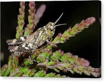 Mottled Grasshopper Juvenile Canvas Print by Nigel Downer