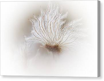 Mountain Avens Seed Head Canvas Print by Heiko Koehrer-Wagner