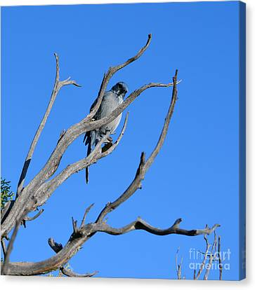 Mountain Bluebird In Grand Canyon National Park Sqaure Format Canvas Print by Shawn O'Brien