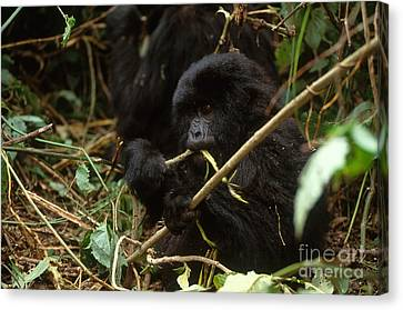 Mountain Gorilla Canvas Print by Art Wolfe