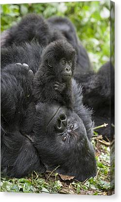 Mountain Gorilla Baby Playing Canvas Print by Suzi  Eszterhas