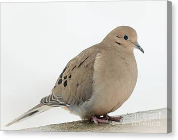 Mourning Dove2 Canvas Print by Cheryl Baxter