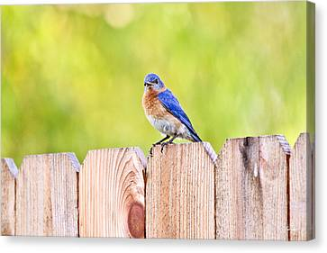 Mr. Bluebird Canvas Print by Scott Pellegrin