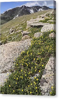 Mt. Evans Wildflowers Canvas Print by Aaron Spong