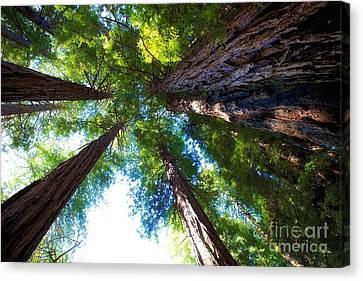 Muir Woods Redwood Trees 6 Canvas Print by Mel Ashar