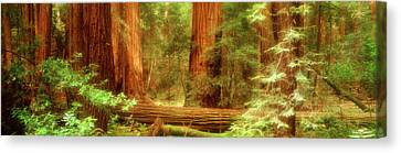 Muir Woods, Trees, National Park Canvas Print by Panoramic Images