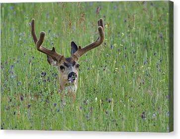 Mule Deer Buck In Wildflower Meadow Canvas Print by Tom Reichner