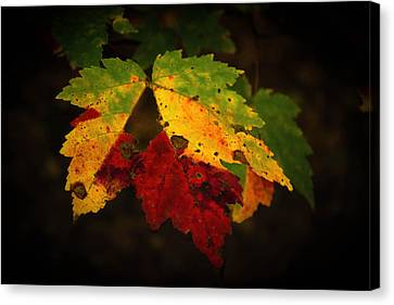 Multicolored Maple Leaf Canvas Print by Chandler McGrew